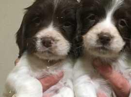 Springer spaniel pups