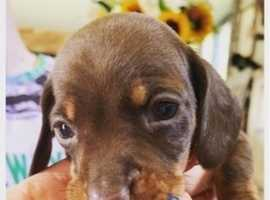 Chocolate mini dachshund Pups