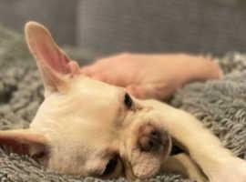 French Bulldog Puplies