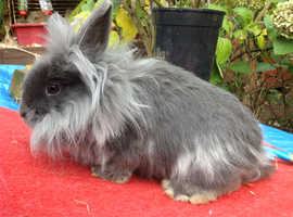 ENGLISH ANGORA CROSS DOUBLE LION HEAD BABY