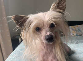 Chinese Crested Hairless Girl