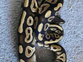 Phantom royal python