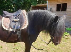 13.2hh 7yo black cob mare