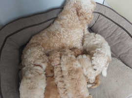 Beautiful litter of F1B Cavapoo puppies for sale