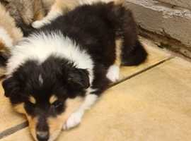 Beautiful rough collie puppies