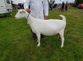 White Milking Goat