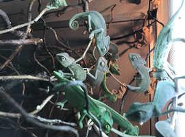 Yemen chameleons