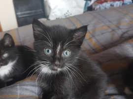 Beautiful black/white kittens needing forever loving homes