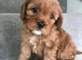 Cavapoo puppy wanted