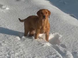 Handsome KC fox red Labrador at stud