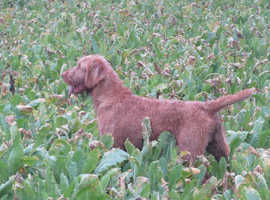 Hungarian wirehaired vizsla pups,(planed litter)