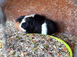 Established Guinea pig stud for sale