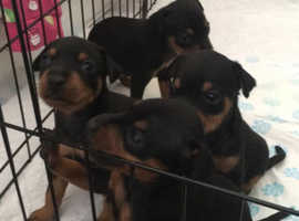 Miniature Pinscher puppies 1x boy and 1x girl left ready to leave now