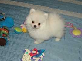Beautiful Pom Puppies For Sale