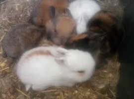Baby bunnies/ rabbits