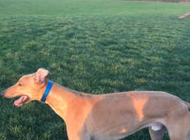 Male greyhound