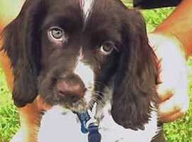 Wanted cocker spaniel puppy