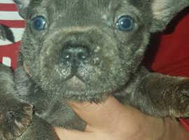 french bulldog quad carrier lilac pup last boy