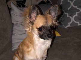 Male. Chihuahua stud