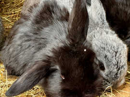 Stunning mini lop baby rabbits