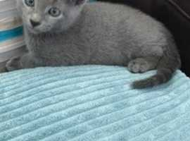Full pedigree Russian blue kittens