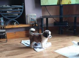 st bernard puppie