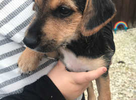 1 gorgeous girl puppy left