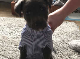8 weeks old lurcher pup for sale