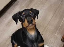 Lovely doberman pup