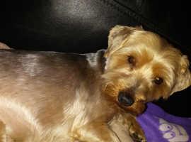 Teacup yorkshire terrier for stud