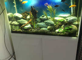 Various African Cichlids for Sale