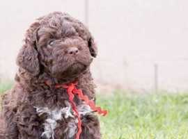 WANTED- LAGOTTO ROMAGNOLO PUPPY