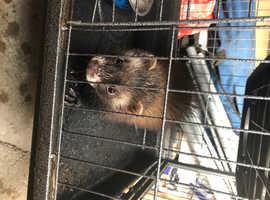 Ferret cross polecat