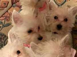 West highland puppy's
