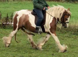 13.1 Skewbald Traditional Cob mare