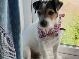 Male Stud Looking For Female Jack Russel