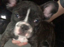 French Bulldogs Liverpool