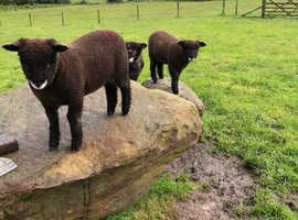 Ryeland ram lambs