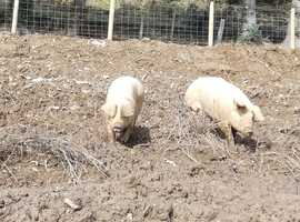 Pedigree Welsh Breeding Gilts