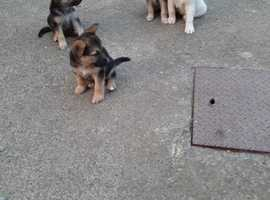 ONLY 4 LEFT Purebred German Shepherd Pups