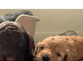 2 Beautiful Cockapoo F1 Puppies For Sale