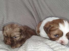 Shitz pups