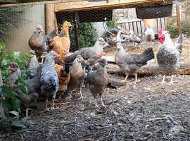 Cream legbar hens and buff Sussex hens