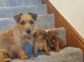 Norfolk x Jack Russell terrier