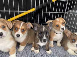 Welsh cardigan corgi pups