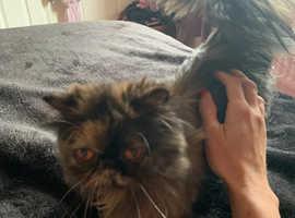 Beautful mainecoon cross persian kittens