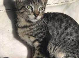 Egyptian Mau Smoked Kittens