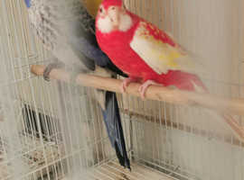 Stunning proven rosella pair for sale