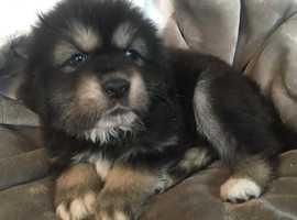 Gorgeous Tibetan  Mastiffs for sale