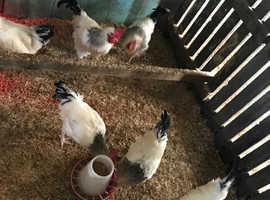 4 beautiful pure light Sussex cockerels